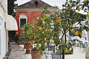 Citrus Fruit Framed Prints - Lemon Trees on a Villa Terrace Framed Print by George Oze