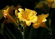 Lemon Yellow Daylilies Print by Rona Black