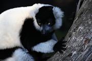 Wingsdomain Art and Photography - Lemur 5D27109