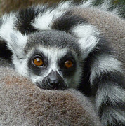 Saheed Posters - Lemur Leisure Time Poster by Margaret Saheed