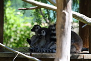 Lemur Photos - Lemur - National Zoo - 01133 by DC Photographer
