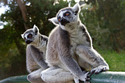 Tree Photos - Lemurs by Nadya Ost