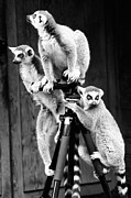 Goyo Ambrosio - Lemurs perched on tripod