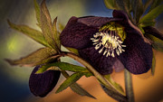 Rose Blooms Posters - Lenten Rose Hellebore Floral Poster by Julie Palencia