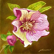 Joan A Hamilton Prints - Lenten Rose Print by Joan A Hamilton