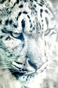 Snow Leopards Prints - Leo Up Close Print by Emily Stauring