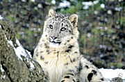 Snow Leopard Framed Prints - Leopard Adorable Framed Print by Emily Stauring
