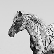 Leopard Running Framed Prints - Leopard Appaloosa Runs Framed Print by Carol Walker