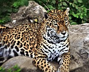 Marty Koch Framed Prints - Leopard At Rest Framed Print by Marty Koch