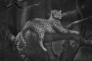 Paw Mixed Media Posters - Leopard b/w Poster by Todd and candice Dailey