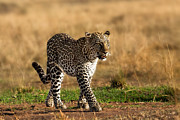 Brown Pyrography Metal Prints - Leopard Binti Masai Mara Metal Print by Maggy Meyer