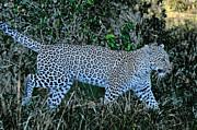 All - Leopard Glow on The Prowl by Tom Wurl