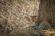 Leopard In Its Environment Print by Alison Buttigieg