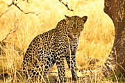Game Pyrography Metal Prints - Leopard Metal Print by Kongsak Sumano