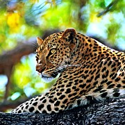 Ly Framed Prints - Leopard lying in a tree Framed Print by Lanjee Chee