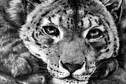 Pencil Sketch Prints - Leopard Print by Mark Hufford