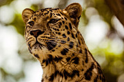 Golden Leopard Framed Prints - Leopard Framed Print by Mark Llewellyn