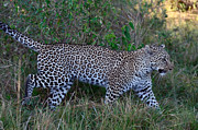 All - Leopard on the Move by Tom Wurl