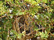 Serengeti Pyrography Prints - Leopard On Tree Print by Kongsak Sumano