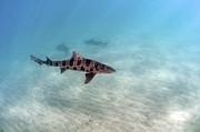 Greg Amptman - Leopard Shark
