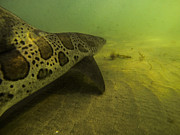 Leopard Shark Prints - Leopard Shark Print by Shane Brown