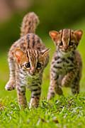 Leopard Stampede Print by Ashley Vincent