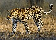 Leopard Hunting Framed Prints - Leopard -The Elusive One Framed Print by Basie Van Zyl