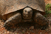 Reptiles Photo Prints - Leopard Tortoise Portrait Print by Bruce J Robinson