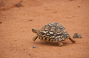Leopard Running Framed Prints - Leopard Tortoise running Framed Print by Howard Kennedy