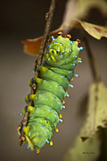 Larvae Framed Prints - Lepidoptera - Cecropia Caterpillar Framed Print by Christina Rollo