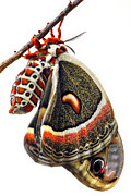 Antennae Digital Art - Lepidoptera - Cecropia Moth by Christina Rollo