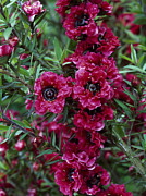 Tea Tree Flower Prints - Leptospermum scoparium red damask Print by Geoff Kidd