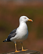 Paul Scoullar - Lesser Black-Backed Gull