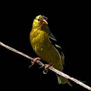 Animal Lover Digital Art - Lesser Goldfinch - 2235 F by James Ahn