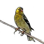 Goldfinch Digital Art Posters - Lesser Goldfinch - 2235 F S M Poster by James Ahn