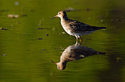 Larry Bird Prints - Lesser Yellowlegs Print by Larry Ricker
