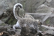 Denise Cicchella - Let it Snow Leopard