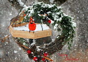 Cardinals. Wildlife. Nature. Photography Photos - Let It Snow by Nava Jo Thompson