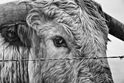 Long Horn Cow Photos - Let me go free by John Farnan
