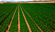 Imperial Valley Prints - Lettuce Print by Robert Bales