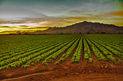Farm Photography Framed Prints - Lettuce Sunrise Framed Print by Robert Bales