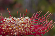 Pincushion Prints - Leucospermum - Pincushion Protea - Tropical Sunburst Protea Flower Hawaii Print by Sharon Mau