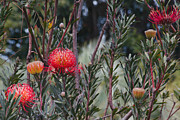 Proteas Prints - Leucospermum - Pincushion Protea - Tropical Sunburst Protea Flowers Maui Hawaii Print by Sharon Mau