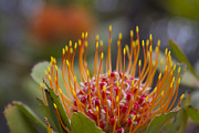 Protea Art Framed Prints - Leucospermum Pincushion Protea - Tropical Sunburst Framed Print by Sharon Mau