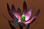 Protea Art Framed Prints - Levcodendron Framed Print by Terence Davis