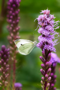 Purple Flower Photos - Liatris by Bill  Wakeley