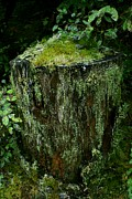 Lichen And Moss Covered Stump Print by Amanda Lee Tzafrir