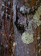 Lichen Photos Posters - Lichen Collage Poster by Carolyn Kami Loughlin