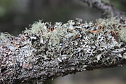 British Columbia Prints - Lichen On A Branch Print by Graham Foulkes