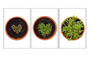 Seedlings Posters - Life of Cress on White Poster by Anne Gilbert